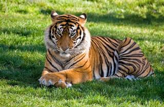 Panthera tigris balica Harimau Bali