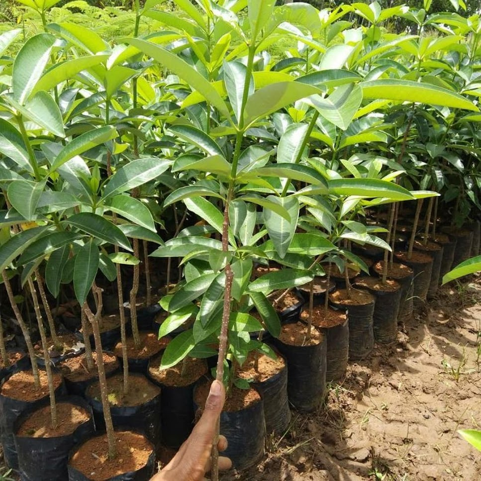 Bibit Pohon Pule Pulai Gorontalo