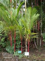 Red trunk palm trees - Ho'omaluhia Botanical Garden, Kaneohe, HI