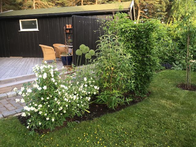 Skjærsmin sammen med andre planter i Furulunden