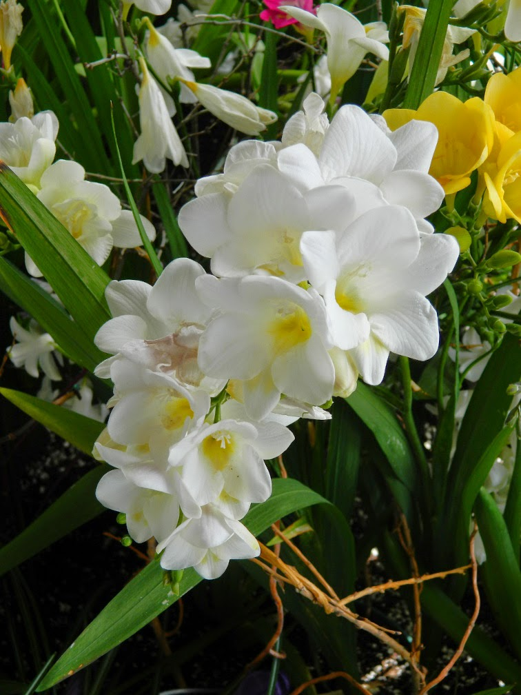 White freesia Centennial Park Conservatory 2015 Spring Flower Show by garden muses-not another Toronto gardening blog