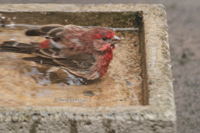"""This image features a male House finch in a cement bird bath that is on my garden floor. He is sitting in the water with his legs tucked under his body. Because he is at a diagonal, most of his body is visible and not immersed in water. The right side of his face, beak and one of his eyes can be seen. The expression on his face is intense. His wings are pressed against either side of his body. House finches are featured in volume one of my book series, """"Words In Our Beak.""""  Info re these books is in another post on my blog @ https://www.thelastleafgardener.com/2018/10/one-sheet-book-series-info.html"""