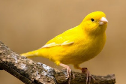 Terapi Agar Burung Kenari Rajin Bunyi
