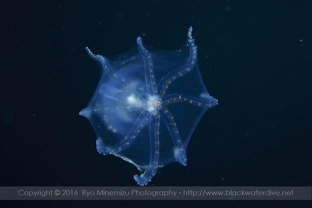 Amphitretus pelagicus クラゲダコ