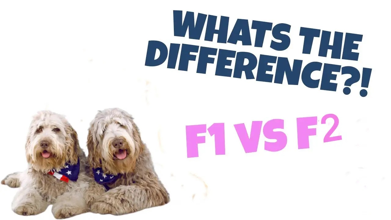 Is-F1-orF2-labradoodle-better