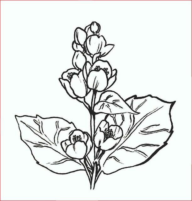sketsa-bunga-melati