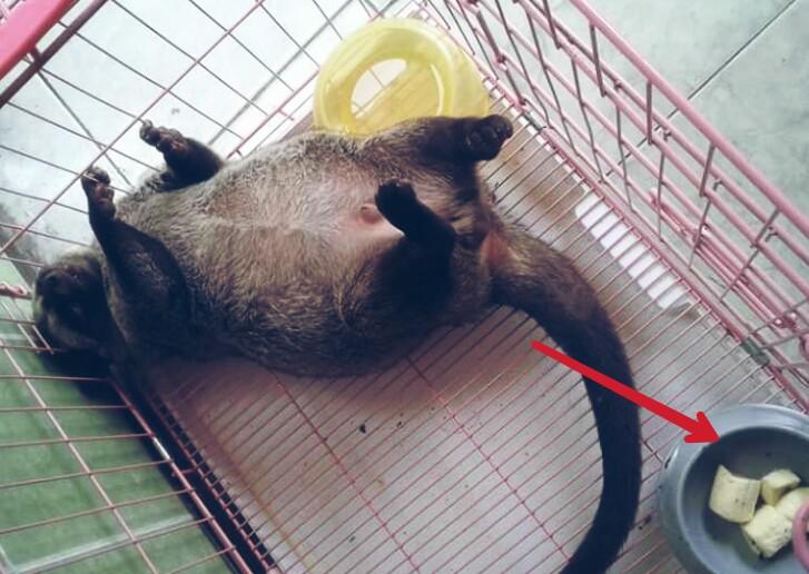 4 Makanan Musang Pandan Agar Gemuk Dan Tetap Sehat