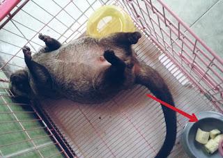 Makanan Musang Pandan Agar Gemuk dan Tetap Sehat