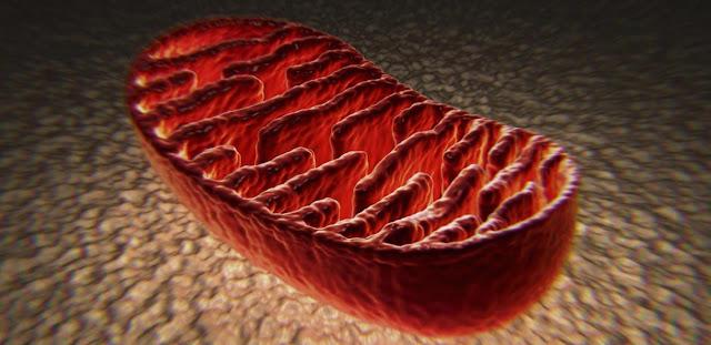 Mitocondria y biologia