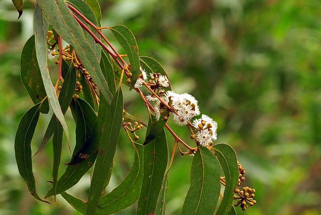 Darlene Sabelle S Articles Eucalyptus An Amazing Tree