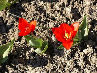 Tulipa kaufmanniana 'Show Winner' - Tulipe Show Winner - Tulipe de Kaufmann