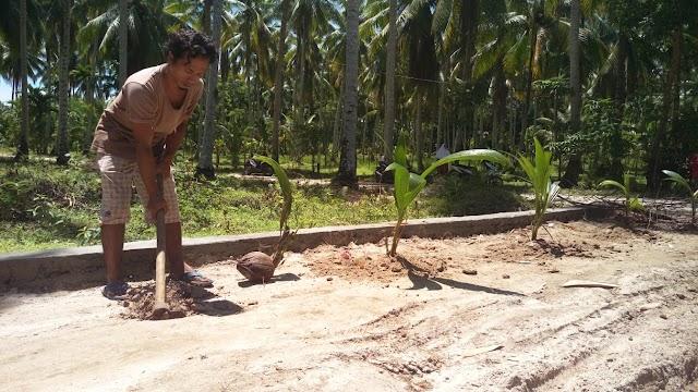 Puluhan Warga Padang Kandang Pulau Air Marah, Tanam Kelapa dialokasi pembangunan jalan nagari