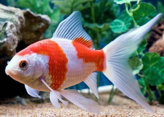 Marine Life: Sarasa Comet Goldfish