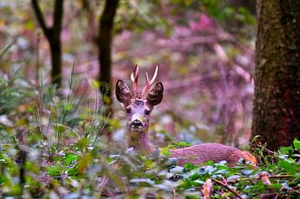 Fekete István őzbak vadászatok