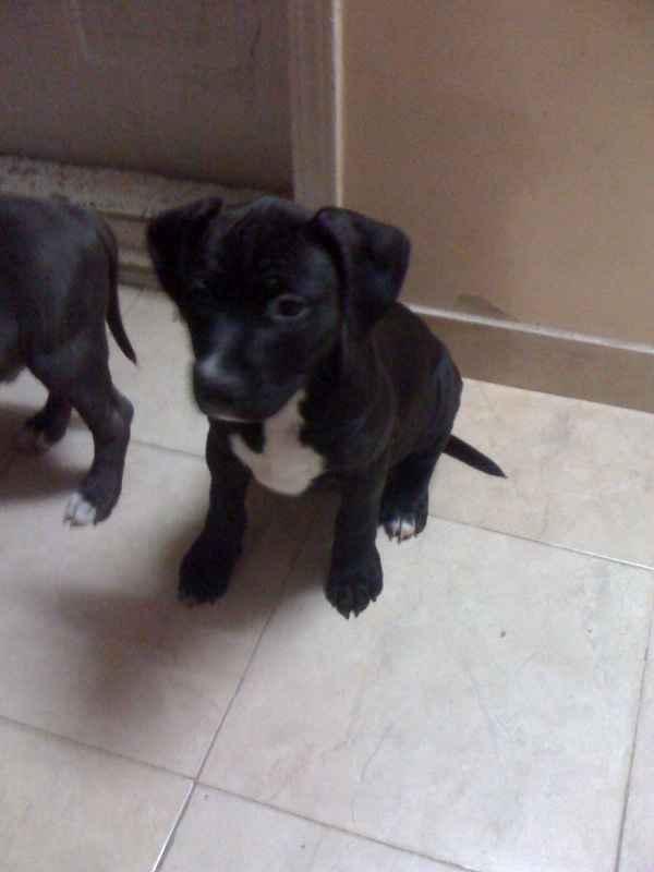 Cute Dogs Black Pitbull Dog