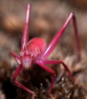 De acordo com relatórios e pesquisas, em um grupo de 500 gafanhotos, apenas um teria chances de nascer cor-de-rosa.