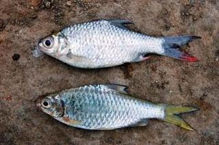 Karakter ikan nilem