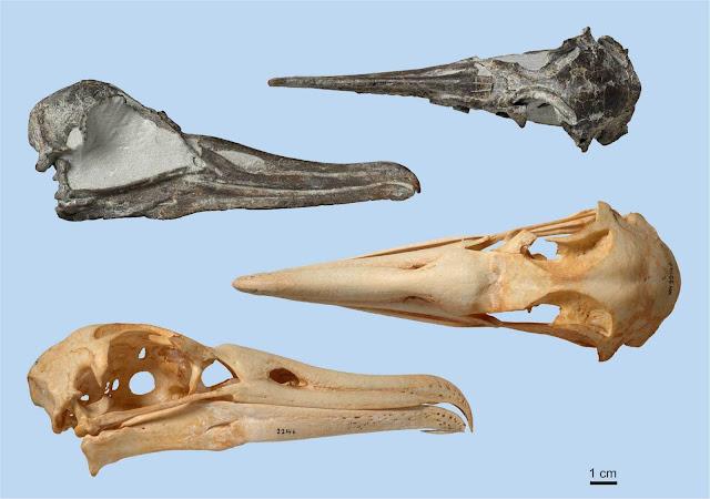 Slender-billed albatross skull from Pliocene discovered in New Zealand