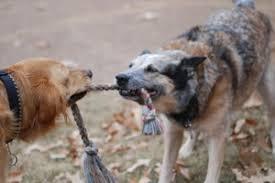 cabo de guerra com cães