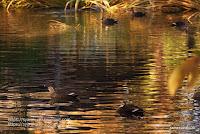 映り込みを泳ぐカルガモの写真