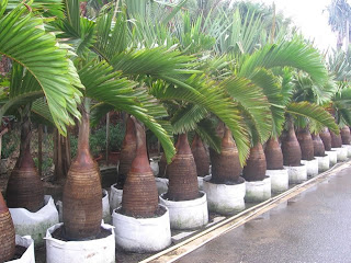 harga jual palm botol murah