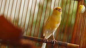 Dewasa ini burung kenari semakin banyak pecintanya Download Suara Burung Kenari Isian Kacer Mp3