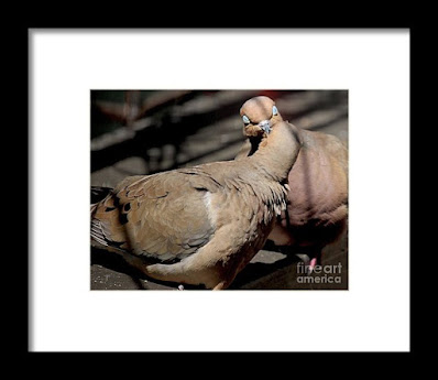 This is a screen shot of framed print  which I'm selling on Fine Art America. It features two very amorous Mourning doves. Info is @ https://fineartamerica.com/featured/cooing-mourning-doves-1-patricia-youngquist.html?product=framed-print