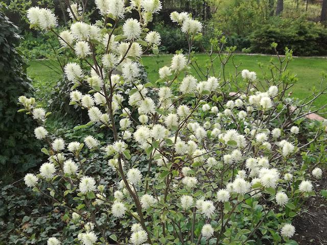 kwitnący krzew ogrodowy