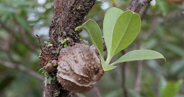 Pohon Sarang Semut