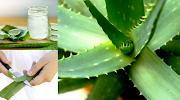கற்றாழையின் 8 பக்க விளைவுகள்: எதுவுமே அளவிற்கு மிஞ்சினால் நஞ்சு என்பது இதனால் தான்.side effects of aloe vera