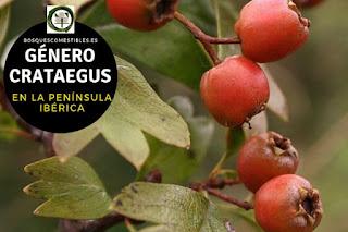 El género Crataegus, arbustos o arbolillos de hasta 8 ó 10 m. de altura