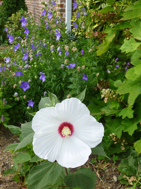 Native rose mallow (Hibiscus moscheutos)