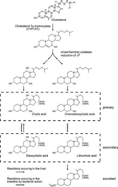 Simplified biosynthetic pathway of bile salts
