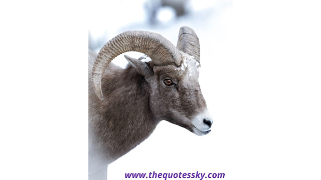 Bighorn Sheep Quotes & Pic For Instagram of 2021