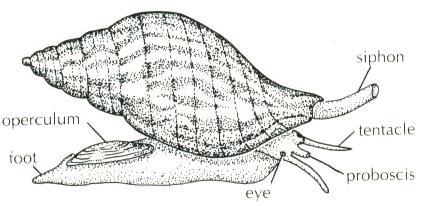 Gambar   Struktur tubuh bekicot