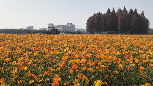員林市冬季景觀花田 南區公園旁黃波斯菊花海美景