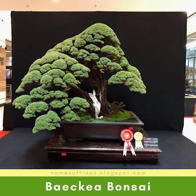 Baeckea Bonsai