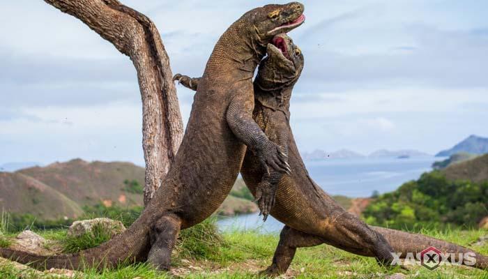 Gambar hewan karnivora atau hewan pemakan daging - Komodo