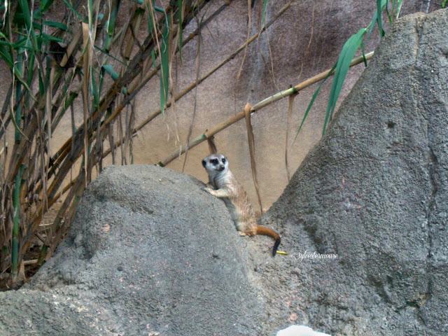 The Memphis Zoo Review - Meerkat Photo by Sylvestermouse