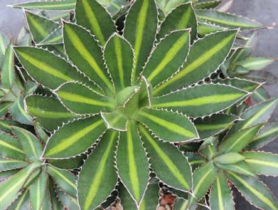 อากาเว่ โลแฟนทา พันธุ์ใบเขียว Agave lophantha Splendida (Center Strip Agave)