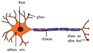 Human-nervous-cell