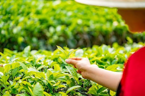 Tea benefit Herbal Arcade