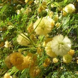 arboles nativos argentina Visco Acacia visco