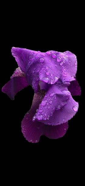 خلفية قطرات الندى تغطي وردة السوسن البنفسجية