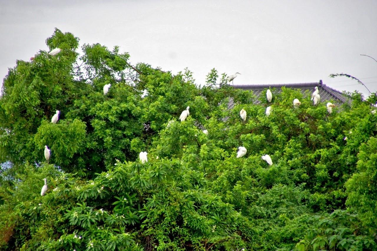 [台南][新營區] 天鵝湖公園|埤寮埤|新營唯一天然湖泊|嘉南埤川國家級濕地|遊記