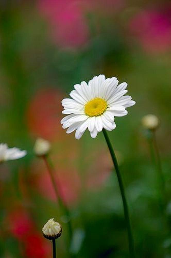 Hinh nen hoa cuc dep%2B%25281%2529