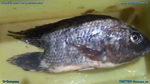 photo ikan nila aneh punya 2 ekor kembar