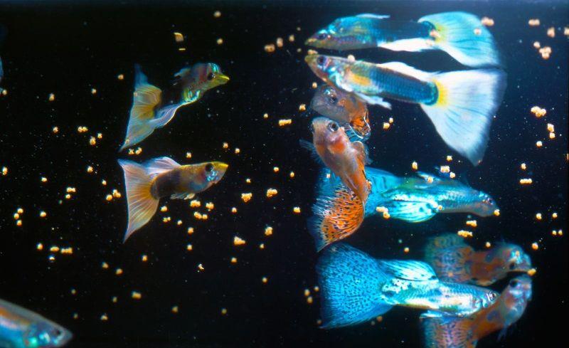 Gambar Pemberian Pakan Bernutrisi Dan Bervariasi Agar Umur Hidup Ikan Guppy Lama