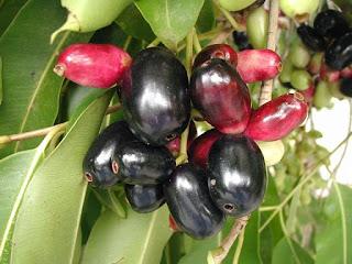 Syzygium Jombolanum (সিজিজিয়াম জ্যাম্বোলেনাম)