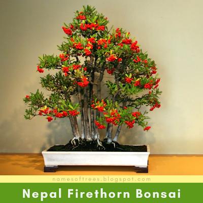Nepal Firethorn Bonsai